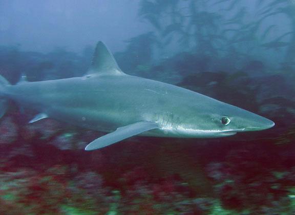 [Image: soupfin-shark_dave-rudie.jpg]